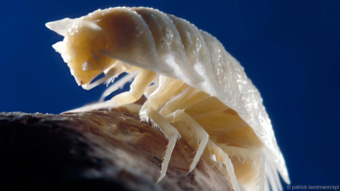 Armadillium-pestera-movile